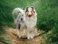 hundemaedchen_Gaia_Langhaarcollie_Collie_Hundeshooting_Shooting_Fotograf_Nina_Herr (5)