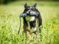 Hundefotografie_Tierfotografie_Hund_Marburg_Fotografin_Christine_Hemlep_August_Border_Collie_Mischling_tricolor_Maggy (11)