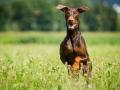 Hundefotografie_Tierfotografie_Hund_Marburg_Fotografin_Christine_Hemlep_August_brauner_Dobermann_Spencer (19)