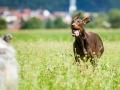 Hundefotografie_Tierfotografie_Hund_Marburg_Fotografin_Christine_Hemlep_August_brauner_Dobermann_Spencer (23)