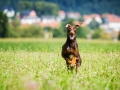Hundefotografie_Tierfotografie_Hund_Marburg_Fotografin_Christine_Hemlep_August_brauner_Dobermann_Spencer (25)