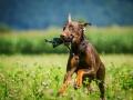 Hundefotografie_Tierfotografie_Hund_Marburg_Fotografin_Christine_Hemlep_August_brauner_Dobermann_Spencer (7)