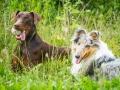 Hundefotografie_Tierfotografie_Hund_Marburg_Fotografin_Christine_Hemlep_August_brauner_Dobermann_Spencer_Langhaarcollie_Collie_bluemerle_Gaia (5)