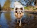 Hundemaedchen_Gaia_Langhaarcollie_Collie_Rough_bluemerle_Lahn_Wasser_Fahrrad_fahren_unterwegs (3)