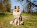Hundemaedchen_Gaia_Langhaarcollie_Collie_Rough_bluemerle_unterwegs_Fahrrad_fahren_unterwegs (5)