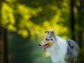Langhaarcollie_Rough_Collie_bluemerle_Gaia_Huendin_Marburg_Hund_Hundefotografie_Fotografin_Christine_Hemlep (21)