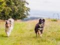 Hundemaedchen_Maggy_Gaia_Langhaarcollie_Border_Collie_Mischling_Wanderung_Hohesrodskopf_Hundefreunde_Forum_Vogelsberg_Spaziergang (71)