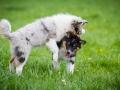 Hundefreunde_Marburg_Welpen_Baby_Junghunde_Treffen_Jung_Hunde_Langhaarcollie_Australian_Shepherd_Mini_American_Puppy_Baby_HemlepFotografie_Fotografin_Hemlep (10)