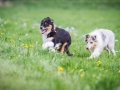 Hundefreunde_Marburg_Welpen_Baby_Junghunde_Treffen_Jung_Hunde_Langhaarcollie_Australian_Shepherd_Mini_American_Puppy_Baby_HemlepFotografie_Fotografin_Hemlep (16)