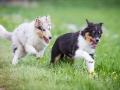 Hundefreunde_Marburg_Welpen_Baby_Junghunde_Treffen_Jung_Hunde_Langhaarcollie_Australian_Shepherd_Mini_American_Puppy_Baby_HemlepFotografie_Fotografin_Hemlep (20)