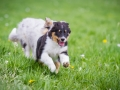 Hundefreunde_Marburg_Welpen_Baby_Junghunde_Treffen_Jung_Hunde_Langhaarcollie_Australian_Shepherd_Mini_American_Puppy_Baby_HemlepFotografie_Fotografin_Hemlep (22)