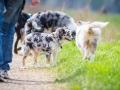 Hundefreunde_Marburg_Welpen_Baby_Junghunde_Treffen_Jung_Hunde_Langhaarcollie_Australian_Shepherd_Mini_American_Puppy_Baby_HemlepFotografie_Fotografin_Hemlep (23)