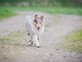 Hundefreunde_Marburg_Welpen_Baby_Junghunde_Treffen_Jung_Hunde_Langhaarcollie_Australian_Shepherd_Mini_American_Puppy_Baby_HemlepFotografie_Fotografin_Hemlep (32)