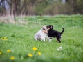 Hundefreunde_Marburg_Welpen_Baby_Junghunde_Treffen_Jung_Hunde_Langhaarcollie_Australian_Shepherd_Mini_American_Puppy_Baby_HemlepFotografie_Fotografin_Hemlep (4)