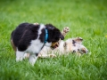 Hundefreunde_Marburg_Welpen_Baby_Junghunde_Treffen_Jung_Hunde_Langhaarcollie_Australian_Shepherd_Mini_American_Puppy_Baby_HemlepFotografie_Fotografin_Hemlep (8)
