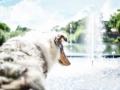 Tierfotografie_Hundefotografie_Marburg_Wetzlar_Giessen_Fotografin_Christine_Hemlep_Hund_Collie_Langhaarcollie_Blue_merle_Gaia (1)