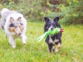 Border_Collie_Mischling_Maggy_tricolor_Langhaarocollie_Rough_Collie_Gaia_bluemerle_Marburg_Lahnwiesen_Wiese_Wubba_Spielzeug (1)