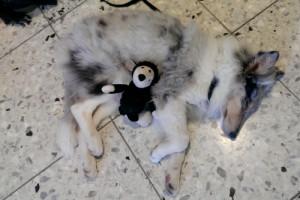 Gaia-Kleinhundeausstellung