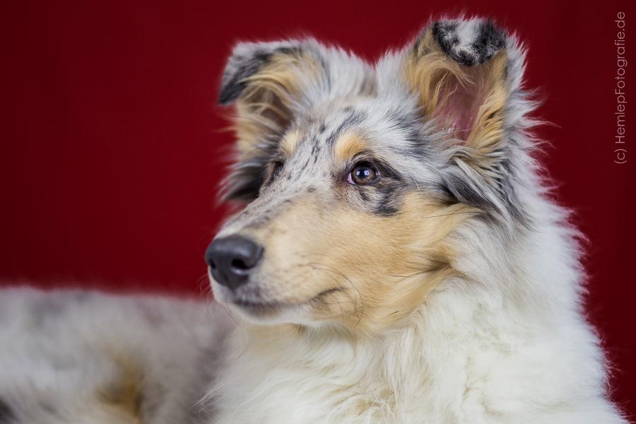 Gaia auf der Kleinhundeausstellung