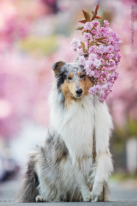 Hundemaechen_Gaia_Langhaarcollie_Collie_Trick_Take_it_Trickkiste_Trickdogging
