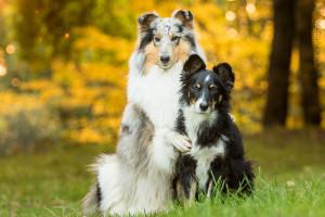 Hundemaedchen_Gaia_Langhaarcollie_Collie_Rough_Bluemerle_Trickdogging_Trick_Beschaefigung_Beste_Freunde_Umarmung