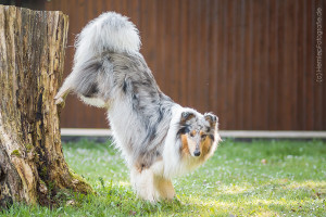 Hundemaedchen_Gaia_Langhaarcollie_Collie_Rough_Bluemerle_Trickdogging_Trick_Beschaefigung_Handstand_Back_Up