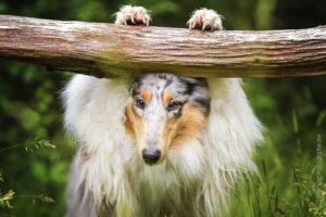 Hundemaedchen_Gaia_Langhaarcollie_Collie_Rough_Bluemerle_Trickdogging_Trick_Beschaefigung_Look_Guck_Guck_Baum